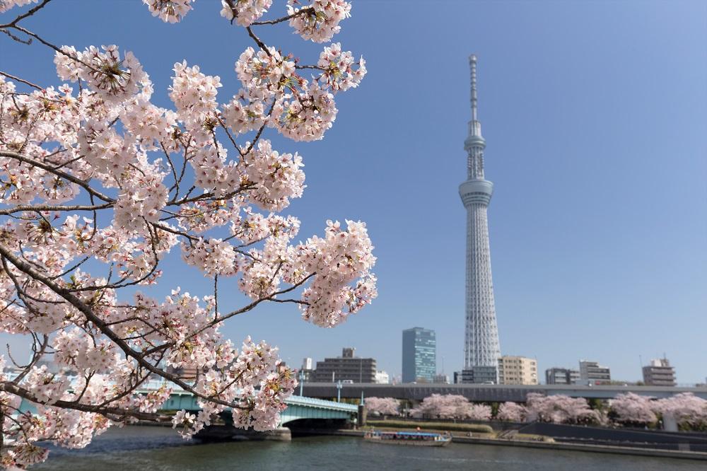 スカイツリーと桜の木