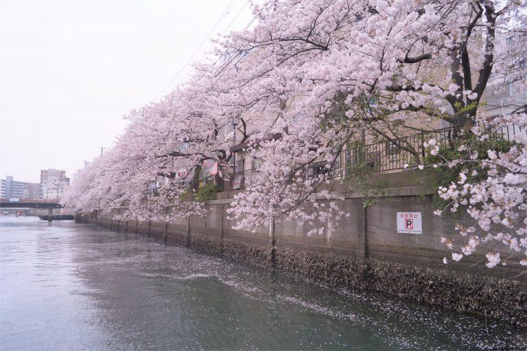 水面に近づく桜