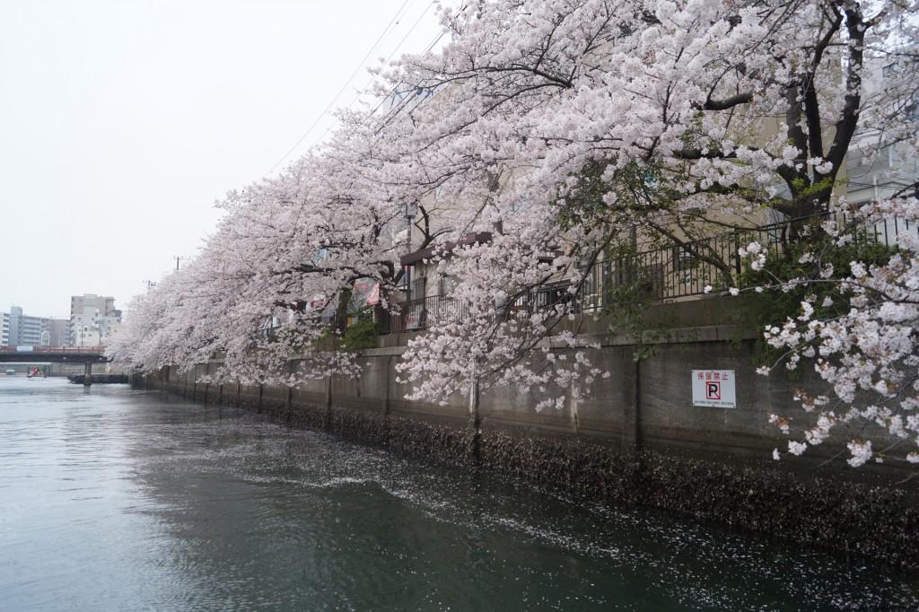 横浜港・大岡川で見られる花見