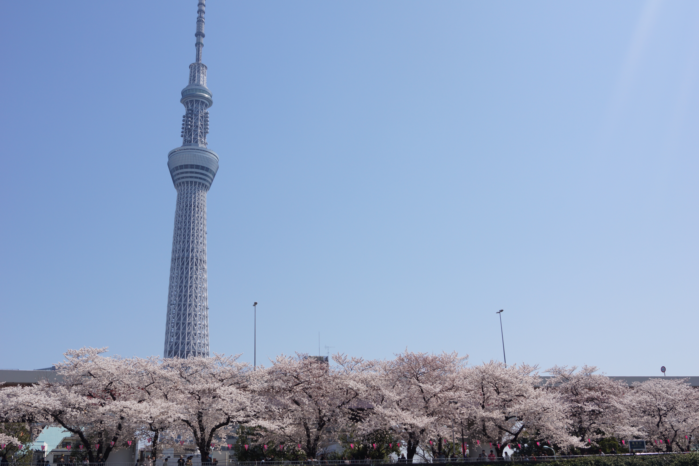 墨田公園の桜と東京スカイツリー
