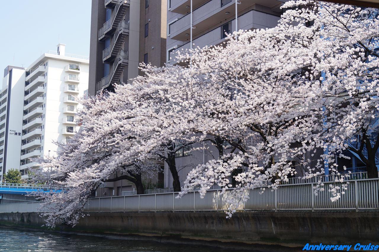 川沿いの屋形船から見た桜