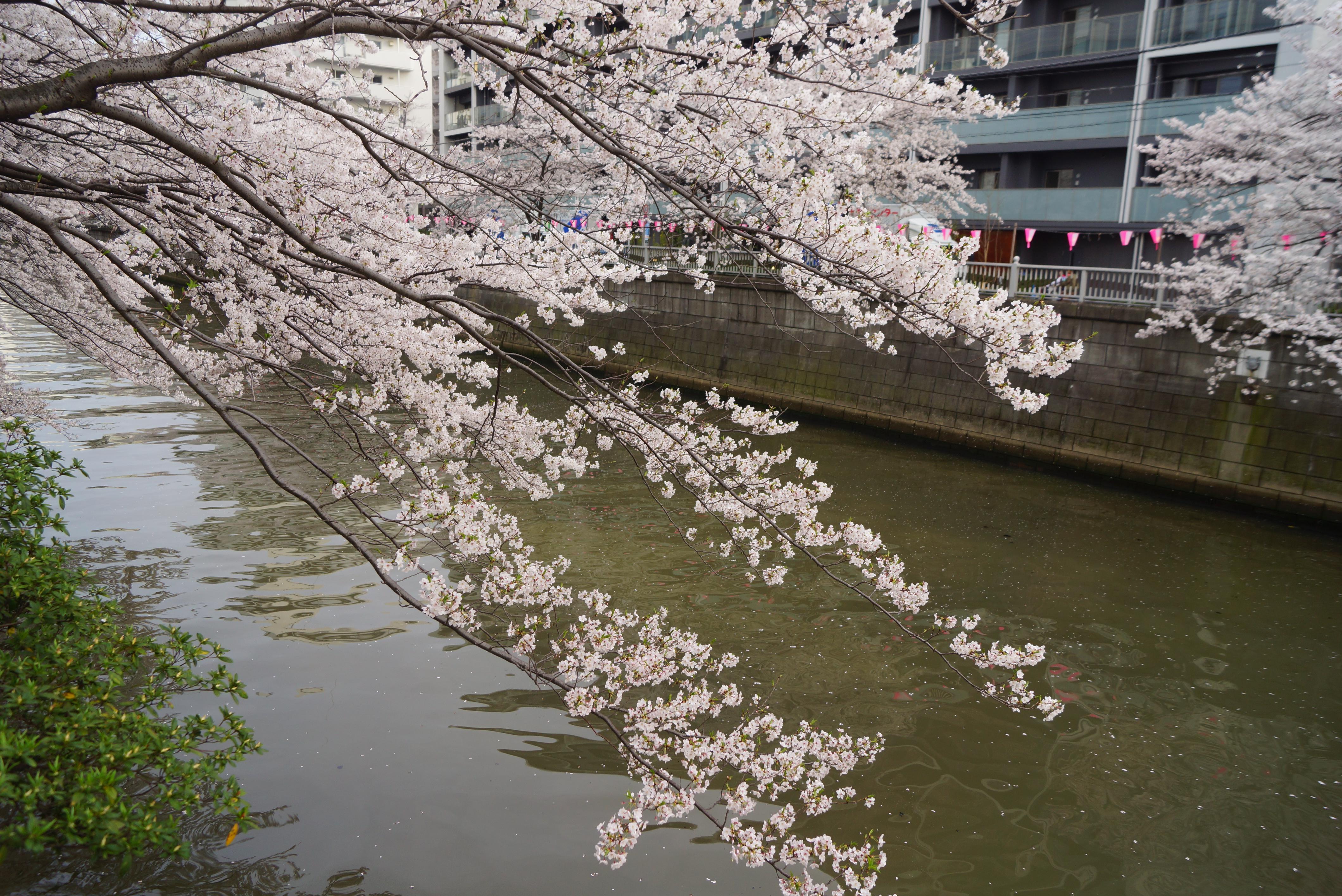 大岡川沿いの桜