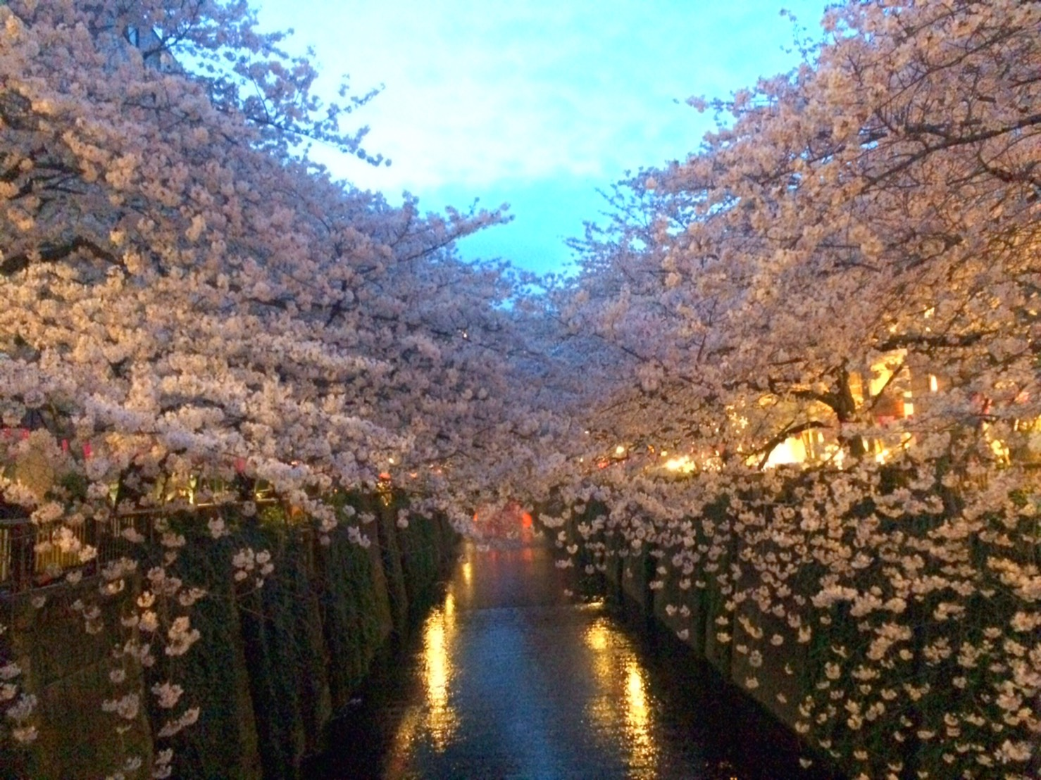 墨田川沿いの満開の桜