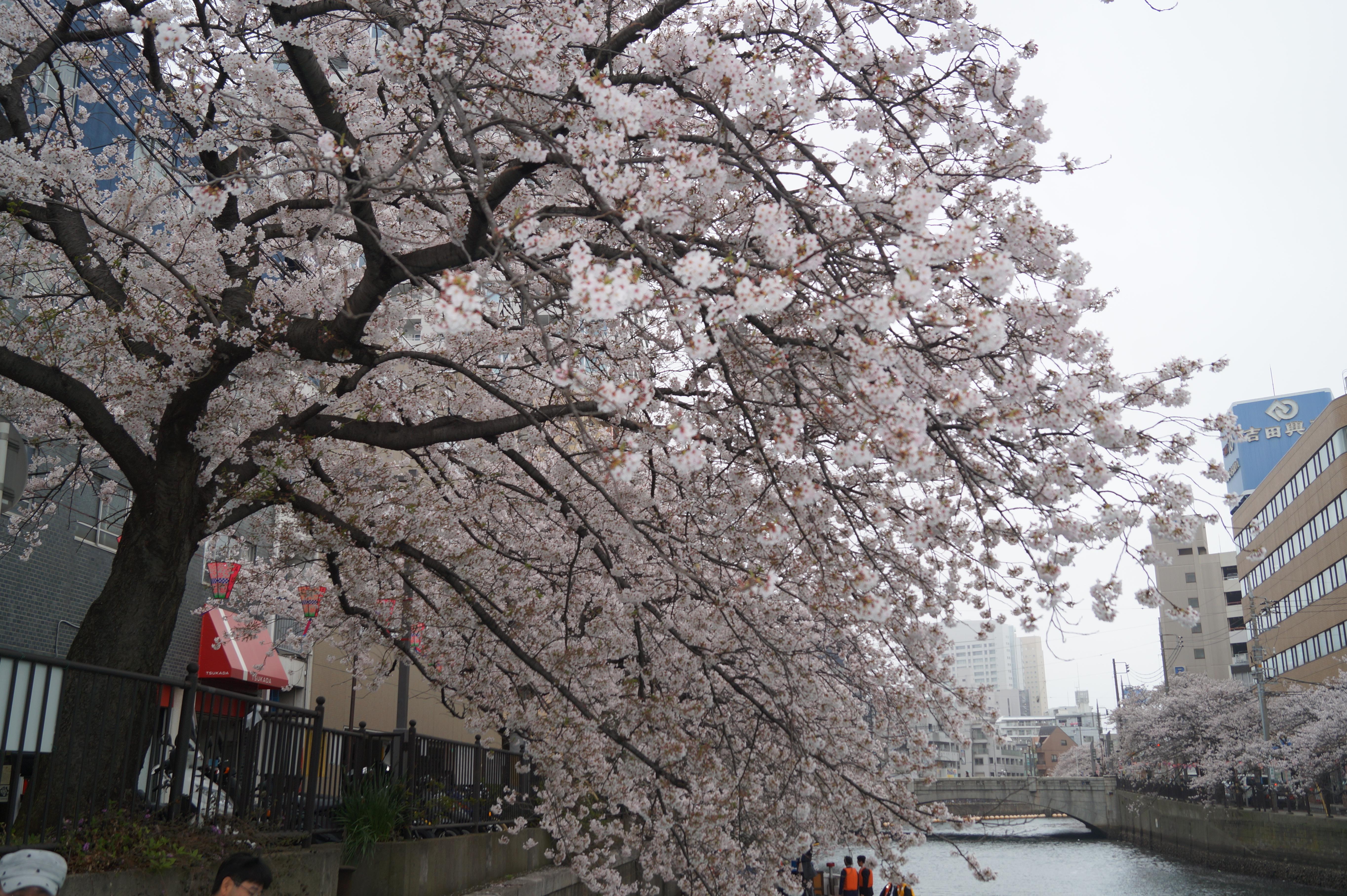 目黒川でお花見クルージング