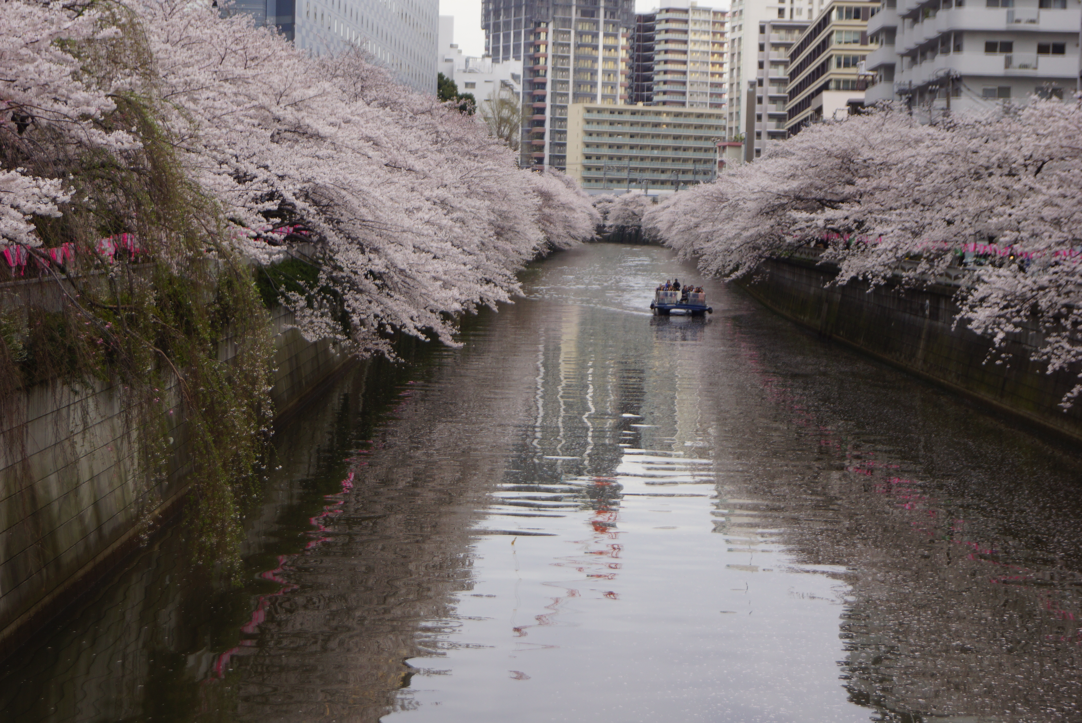 川の両側に広がる桜並木と遠くに見えるクルーザー