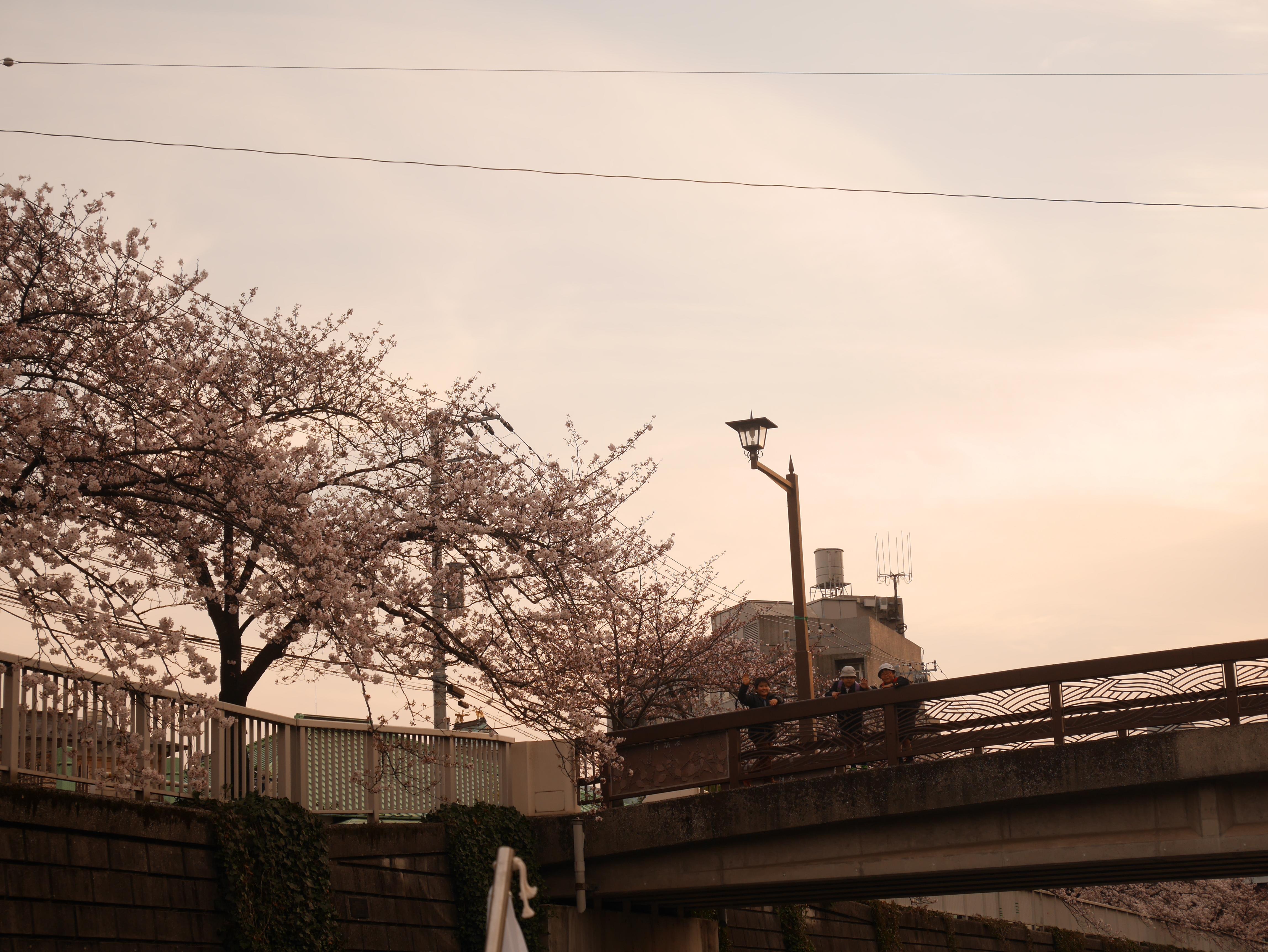 夕暮れどきの桜