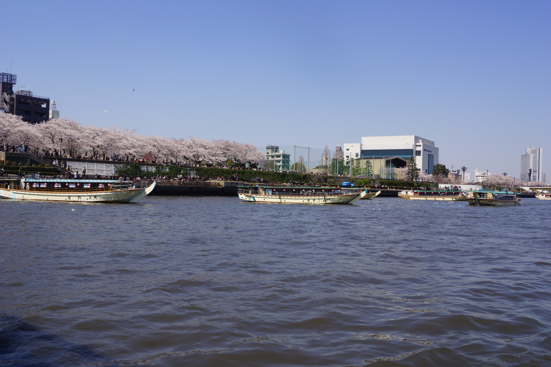 川岸のきれいな桜並木と数隻の屋形船