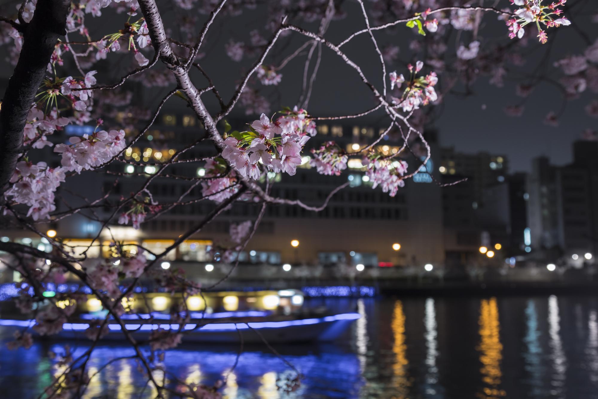 ライトアップされた屋形船と美しい夜桜