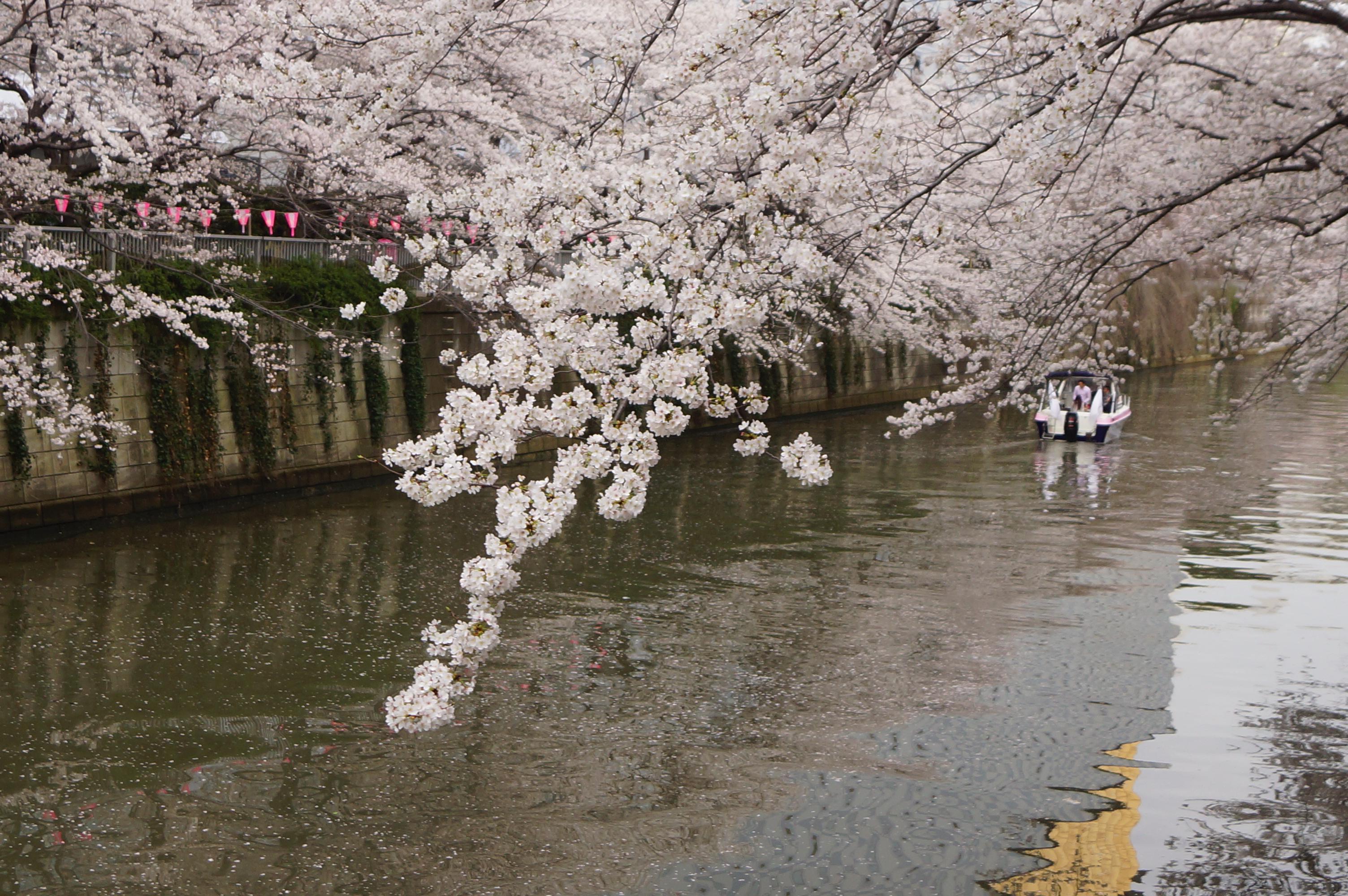 川沿いに咲くさくら