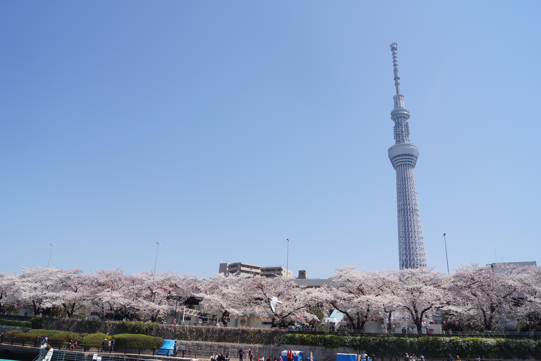 東京スカイツリーと満開の桜並木