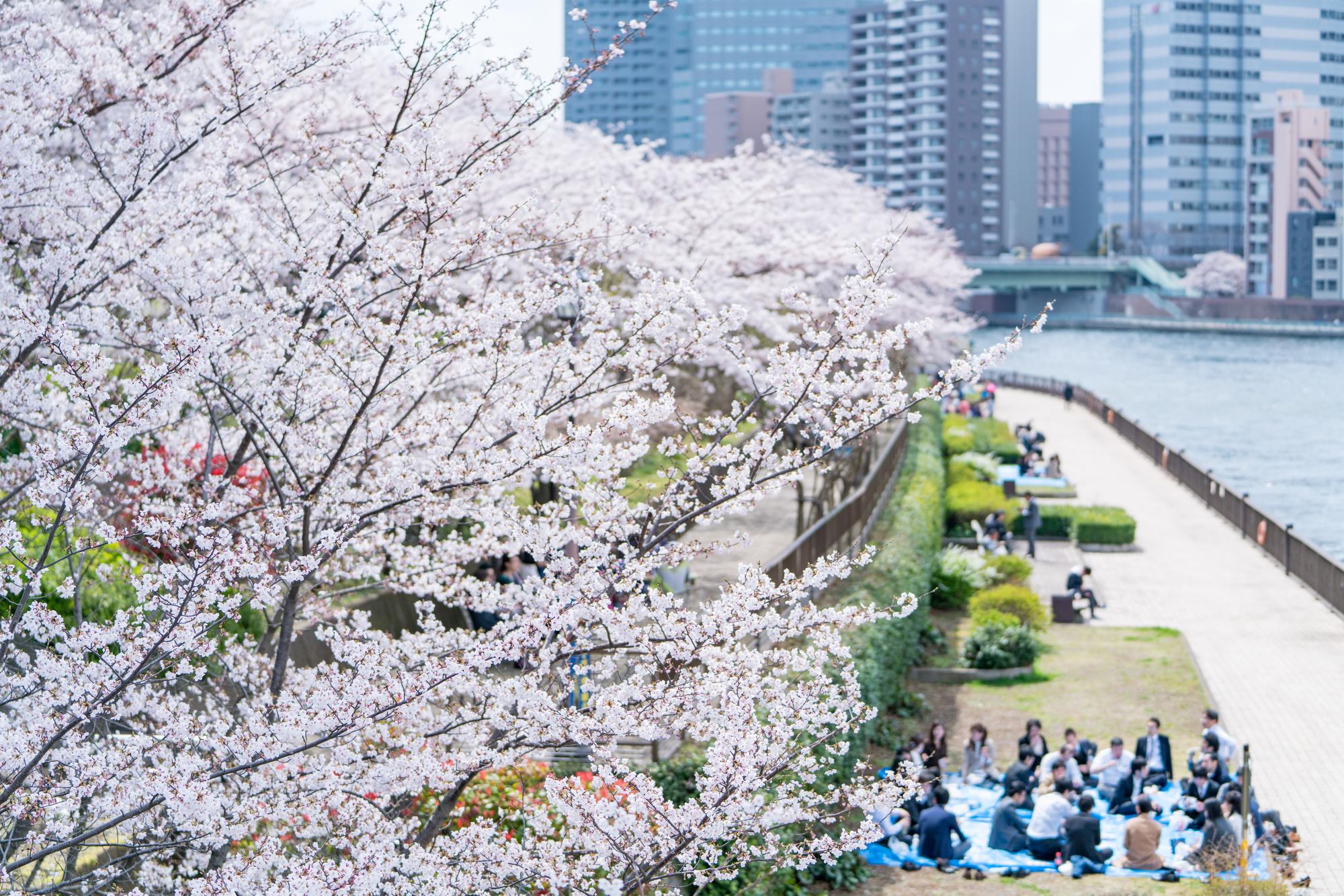 咲き誇る桜の下でお花見