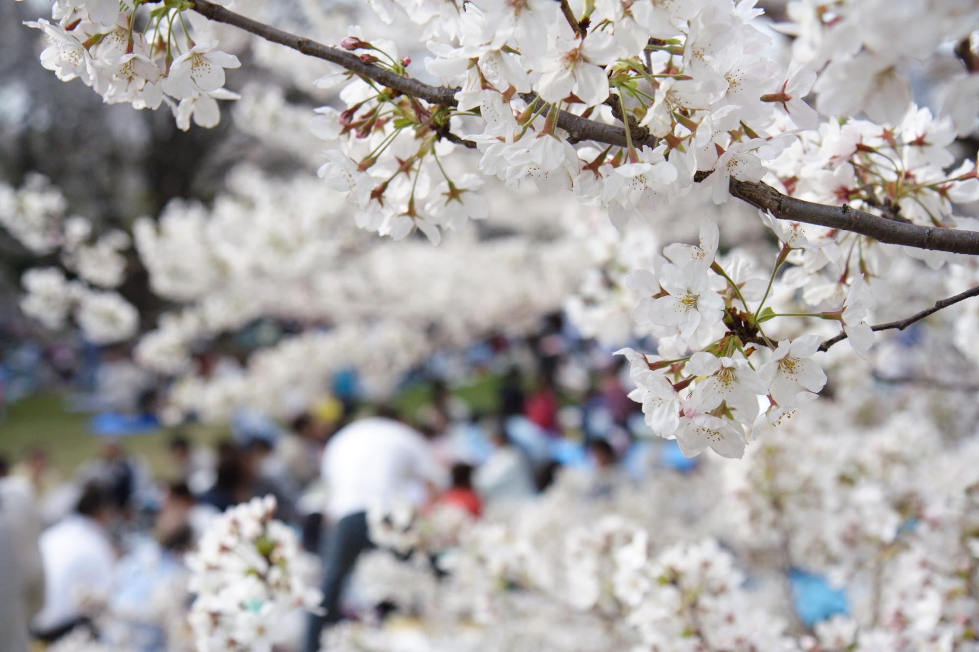 満開の桜とお花見を楽しむ人たち
