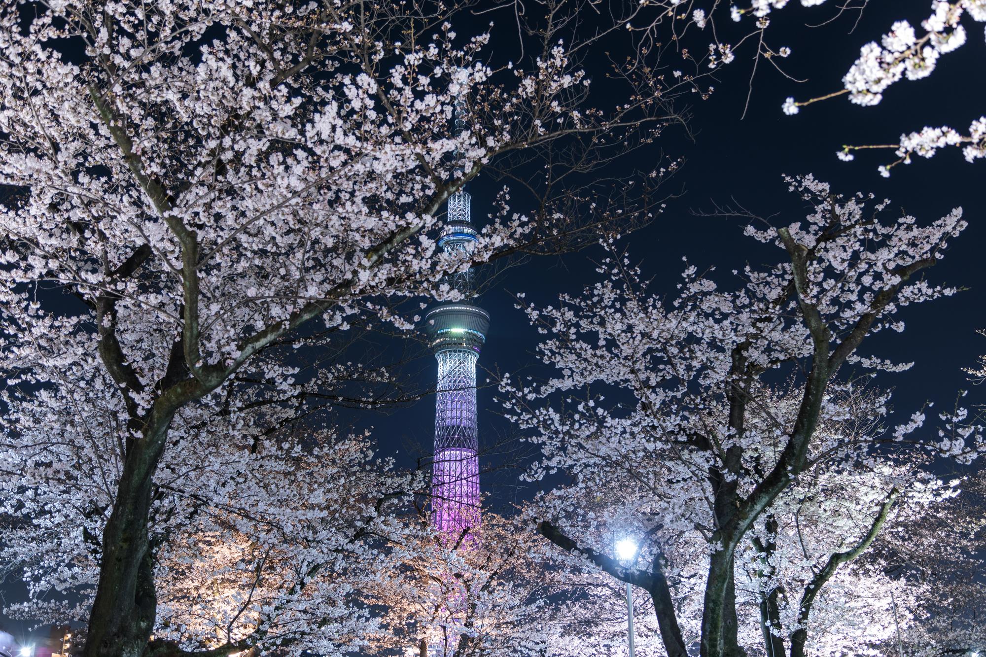 ライトアップされた夜の桜とスカイツリー