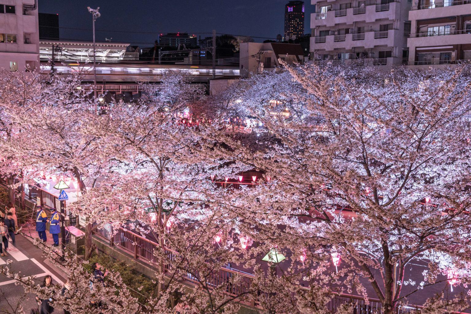 満開に彩る目黒川の桜