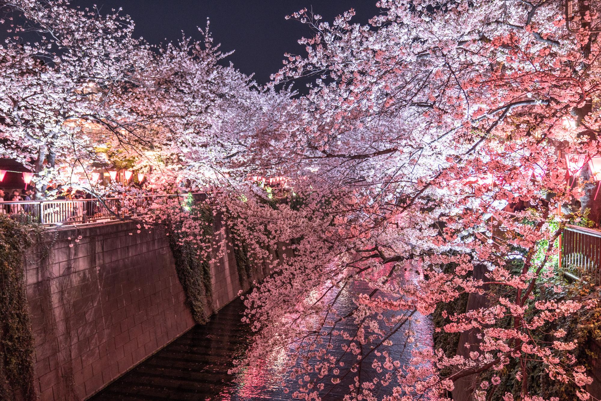 夜桜がきれいな目黒川