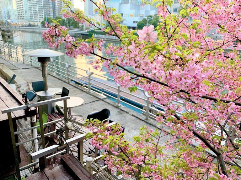クリブのテラスに咲く桜